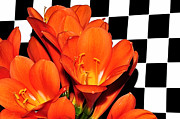 Checks Posters - Colorful Clivias on Black and White Checks Poster by Kaye Menner