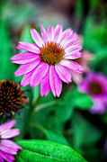 Tammy Smith - Colorful Coneflower