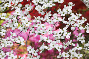 Dogwood Photos - Colorful Dogwood Lattice by Oscar Gutierrez