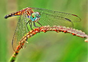 Myrna Bradshaw - Colorful Dragonfly