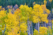 Gunnison Framed Prints - Colorful Forest Framed Print by James Bo Insogna