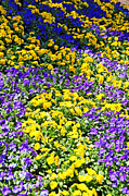 Florals Photos - Colorful Garden by Aimee L Maher