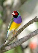 Tree Creature Framed Prints - Colorful Gouldian Finch Framed Print by Sabrina L Ryan