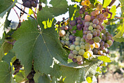 Pinot Noir Photos - Colorful Grapes Growing on Grapevine by JPLDesigns