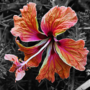 Stamen Digital Art Framed Prints - Colorful Hibiscus on Black and White 2 Framed Print by Kaye Menner