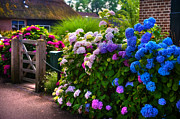 Netherlands Prints - Colorful Hydrangea at the Gate. Giethoorn. Netherlands Print by Jenny Rainbow