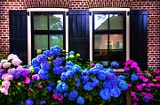 Purple Hydrangea Photos - Colorful Hydrangea at the Windows. Giethoorn. Netherlands by Jenny Rainbow