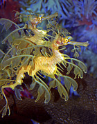 Seadragon Posters - Colorful Leafy Sea Dragons Poster by Donna Proctor