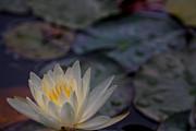 Doug Sturgess - Colorful Lilypads