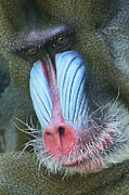 Margaret Saheed - Colorful Male Mandrill