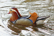 Bob and Jan Shriner - Colorful Mandarin Drake