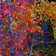 Turning Leaves Posters - Colorful Maple Leaves Poster by Scott Cameron