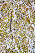 James BO  Insogna - Colorful Maple Tree In The Snow 2