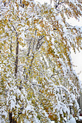 James BO  Insogna - Colorful Maple Tree In The Snow