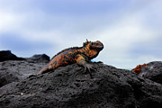 Al Bourassa - Colorful Marine Iguana...