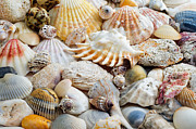 Seashell Fine Art Prints - Colorful Ocean Seashells 1 Print by Andee Photography