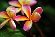 Charmian Vistaunet - Colorful Plumeria Flowers