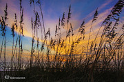 Oats Originals - Colorful Sea Wheat by  Island Sunrise and Sunsets Pieter Jordaan