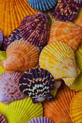 Scallop Posters - Colorful shells Poster by Garry Gay