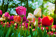 Wallpaper Art - Colorful tulip flowers in spring park by Photocreo Michal Bednarek