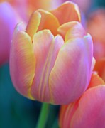 Struckle Posters - Colorful Tulip Poster by Kathleen Struckle