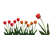 Dresses Pyrography Metal Prints - Colorful tulips Metal Print by Boon Mee