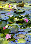 White Water Lily Posters - Colorful Water Lily Pond Poster by Carol Groenen