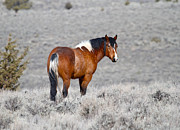 Lonesome Posters - Colorful Wild Horse Poster by Steve McKinzie
