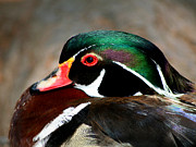Sitting Ducks Prints - Colorful Wood Duck Print by Bob and Jan Shriner