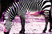 Cummings Digital Art - Colorful Zebra 2 - Buy Black And White Stripes Art by Sharon Cummings