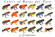 Frog Photo Metal Prints - Colors of Bocas del Toro Metal Print by JP Lawrence