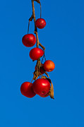 Crab Apple Photos - Colors Of Winter - Featured 3 by Alexander Senin