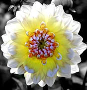 Dahlias Prints - Colorwheel Print by Karen Wiles