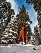 Sequoia National Park Prints - Colossal Print by Jeffrey Campbell