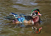 Wood Duck Prints - Colour Palette Print by Randy Hall
