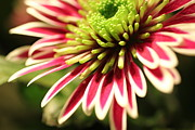 Fineartprint Prints - Colourful Chrysanth Print by Wobblymol Davis