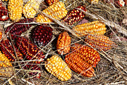 Corns Prints - Colourful Corn Cobs Print by James Brunker