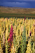 James Brunker Art - Colourful Quinoa Plants by James Brunker
