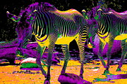 Animal Portrait Prints Prints - Colourful Zebras  Print by Aidan Moran