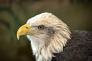 Northern Minnesota Prints - Columbia - Bald Eagle Print by Bill Tiepelman