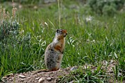 Linda Albonico - Columbian Ground Squirrel