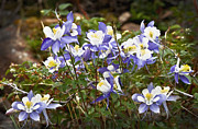 Columbine Photos - Columbine Gathering by Rich Franco