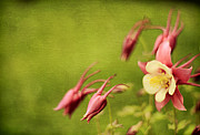 Darren Fisher - Columbine in Bloom