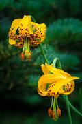 Inge Johnsson - Columbine Lilies