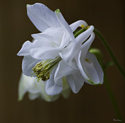 Michael Friedman Prints - Columbine Print by Michael Friedman