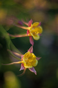 Columbine Prints - Columbine Pair Print by Mike Reid