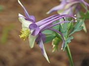 Rebecca Overton - Columbine Purple 