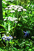 Parsnip Originals - Columbine with Water Hemlock by Daniel Hebard