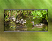 Baby Mallards Posters - Come On...The Waters Fine. Poster by Diane Hagler