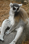 Ring-tailed Lemur Photos - Come Sit-We Need to Talk by DigiArt Diaries by Vicky Browning